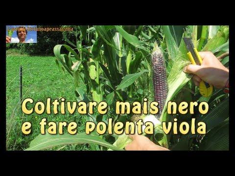 6 l'orto di Stefanoapeassassina - MAIS NERO e POLENTA VIOLA semina coltivazione e cucina