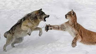 Wolf vs Cougar - Who Would Win a Fight?
