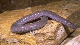 New Amphibian Discovered in India