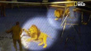 Incroyable !! Des Lions Attaquent Le Dresseur En Plein Cirque !!