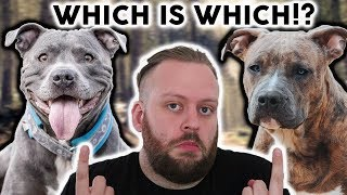 AMERICAN STAFFORDSHIRE TERRIER Or STAFFORDSHIRE BULL TERRIER!? Whats The Difference!?!