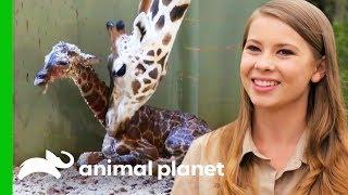 A New Baby Giraffe Arrives At Australia Zoo!   Crikey! It's The Irwins