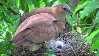 20120511黑冠麻鷺哺育雛鳥(1)