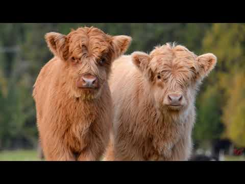 , title : 'Плюшевые коровы из Айовы