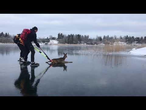 Освобождение олененка из ледовой ловушки