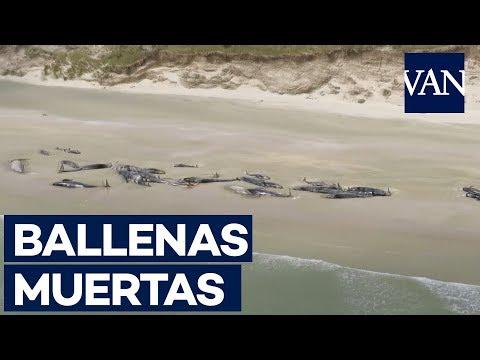 Desgarradoras imágenes de 145 ballenas muertas en Nueva Zelanda