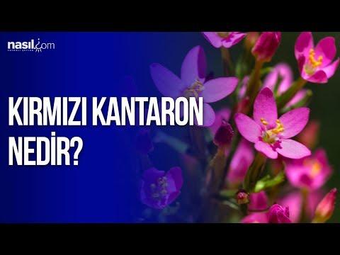 Kırmızı Kantaron yağı nedir? Faydaları nelerdir?