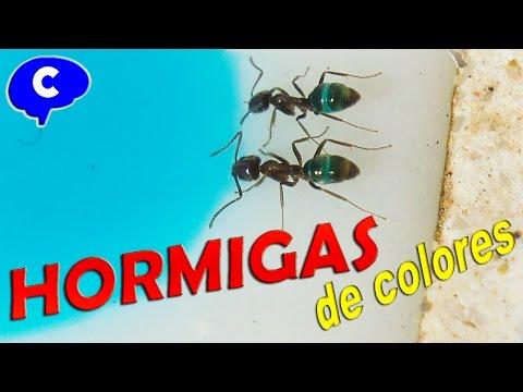 Hormigas coloreadas de azul rojo verde y amarillo
