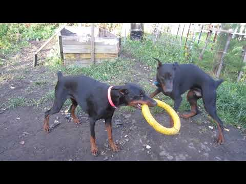2 собаки играют с пулером, Доберман, Doberman
