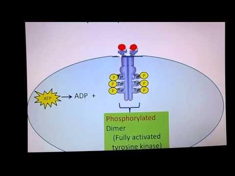 Que la production de lhormone insuline