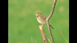 Corn Bunting Song ( Bird Sing Documentary )