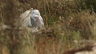 A nice snowy owl in Delta, BC