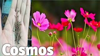 How To Grow Cosmos Plant From Seeds
