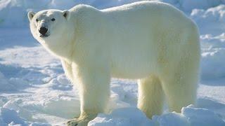 Смотреть онлайн Дикая природа: все о белых медведях