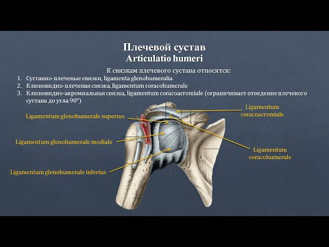 Анатомия плечевого сустава: строение, классификация, фиксирующий аппарат, движения