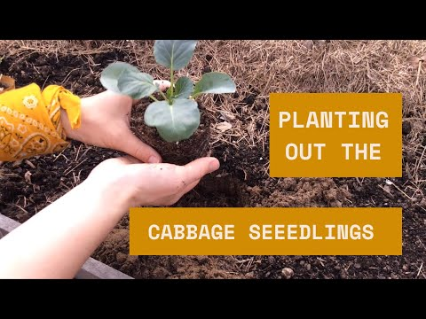 , title : 'Planting Cabbage
