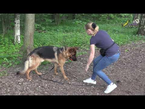 Дисплазия локтевых суставов и дрессировка, немецкая овчарка, занятие