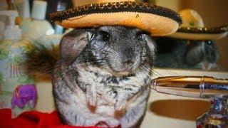 Cute Chinchilla 🐭Funny and Cute Chinchilla(Part 1) [Funny Pets]