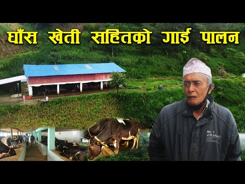 ५० रोपनी जग्गामा घाँस खेती गरेर गाउँमै गाई पालन गर्दै पदम ब.बस्नेत - Cow farming in the village