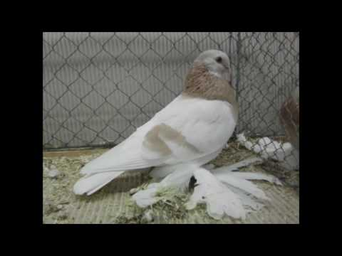 , title : 'Different Types of Pigeon Breeds Ep6 -The Agaran Pigeon