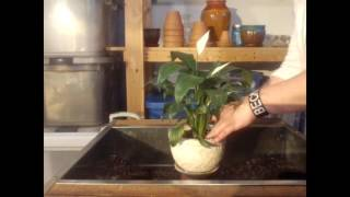 Tips For Successfully Growing A Peace Lily   Repotting A Peace Lily   Houseplants
