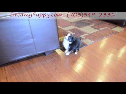 Adorable Miniature Aussie Boy Puppy #2