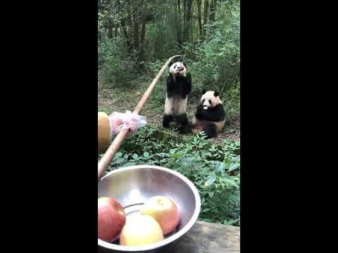 【抖音】寵物合集32 - 大熊貓最萌瞬間,哼,少給一瓶奶,寶寶很生氣!