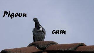 FPV flight of racing pigeons / Brieftauben tragen Kamera beim Trainingsflug / bird cam / pigeon cam