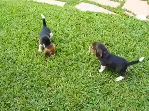 Filhote de Beagle é tudo de bom!