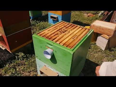 Как собрать весь мёд зрелым во время ГВ, Начало развития .