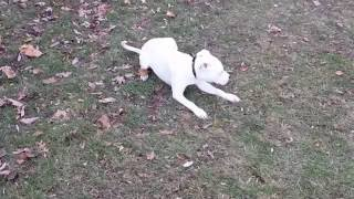 Really Holding a Position | 7 Month Old Pit Bull | Dog Training Peachtree City