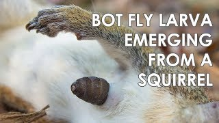 Bot Fly (Cuterebra) Larva Emerging From a Squirrel