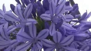 アガパンサスの花白と青綺麗ですねアイランドシティ