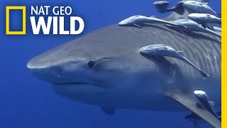 Take a Deep Dive With Tiger Sharks | Nat Geo Wild