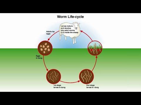 Worm parasites homyopatya