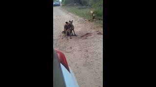 Wild dogs mating after killing Steenbok