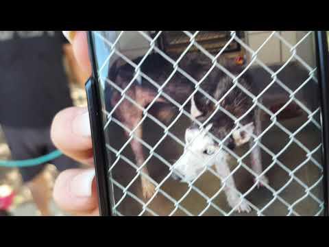 Aria, an adopted Husky & Alaskan Malamute Mix in Bandera, TX