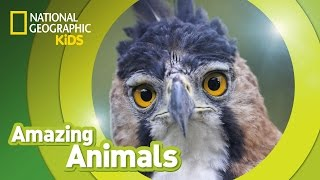 Harpy Eagle | Amazing Animals
