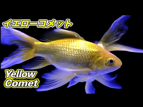 【金魚】イエローコメットの紹介(Yellow comet)