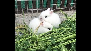 Adorable Dwarf Hotot Rabbit Bunnies |Beautiful Big Eyes Bunnies|Fancy Rabbits Farmings| خرگوش فارمنگ