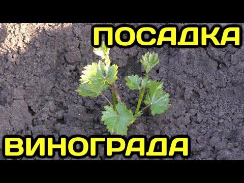 Как посадить виноград весной (посадка саженцев черенков винограда, как правильно сажать виноград)