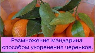 Размножение мандарина черенками видео