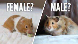 Female Or Male Hamsters?