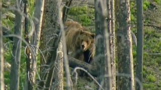 Bear Attack  | Transylvania: Living with Predators | BBC