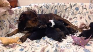 Rescued Boxer Mix Named Mireya Gives Birth At CAHS