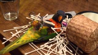 Rainbow Lorikeet Goes Nuts Over Q-Tips (Funny Parrot!)