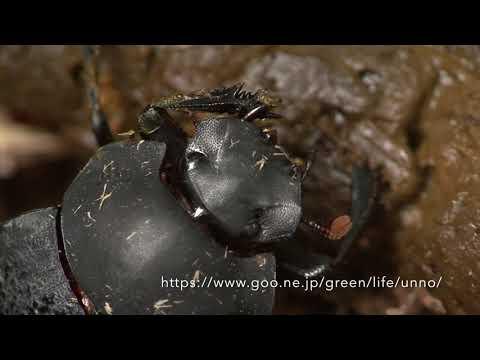ペルーの糞虫 Dung beetle of Peru