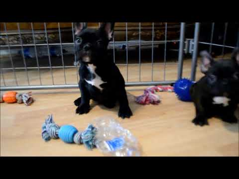 Titus AKC Male Black Brindle French Bulldog Puppy for sale!