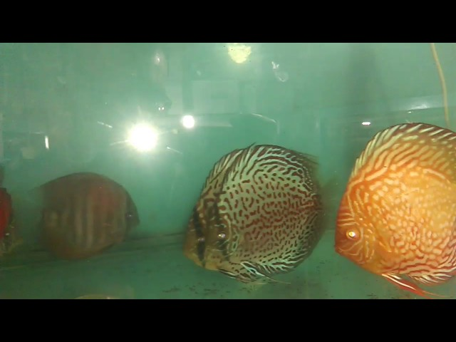 Discus Fish Infection Source | Treatment of Discus Fish | Tetracycline | Middle Man making profit