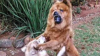Chow Chow Fighting